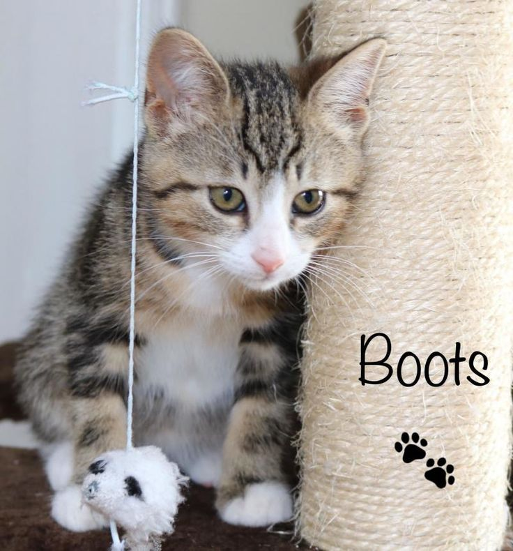 Meet Boots, an adoptable Domestic Short Hair looking for a forever home. If you're looking for a new pet to adopt or want information on how to get involved with adoptable pets, Petfinder.com is a great resource.