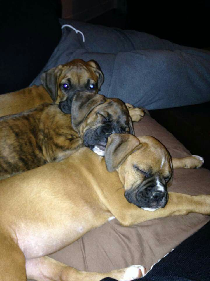 Pin by jack fowler jr on boxer puppies boxer puppies