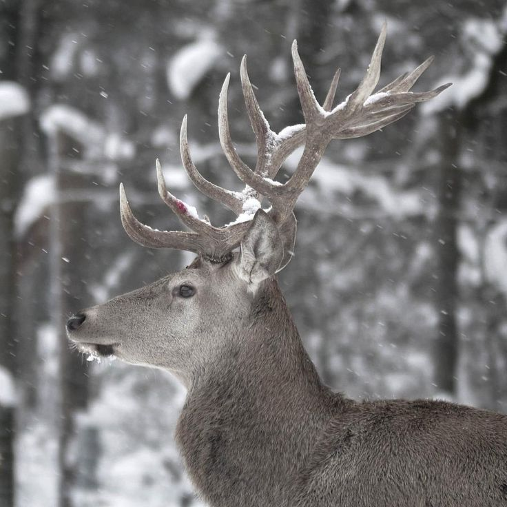 Confrontations between male deer during the reproductive season are often encountered (...)