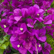 bougainvillea to grow on fence
