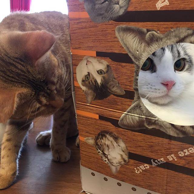 #猫 #cat #고양이 #子猫 #kitty #kitten #새끼고양이 #スコティッシュフォールド #scottishfold #ぽて #pote #포테 #オシキャット #ocicat #こまめ #komame #코마메 #愛猫 #ねこのきもち