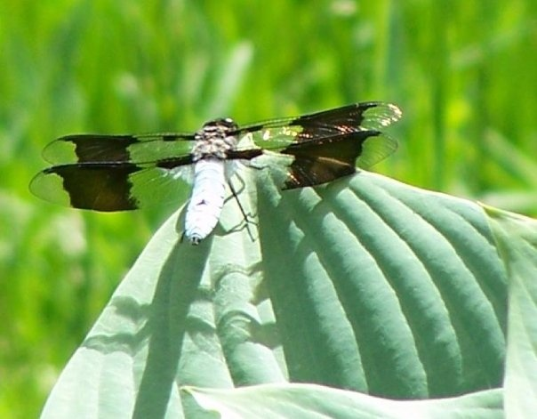 Dragon fly in my back yard - Fredericton, New Brunswick