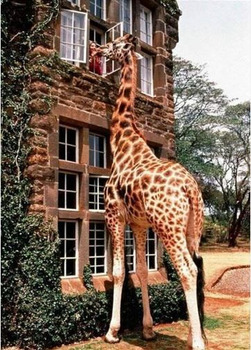 Giraffe Manor is one of Nairobi Africa's most iconic buildings. RESEARCH - DdO:) - http://www.pinterest.com/DianaDeeOsborne/animals-of-a-different/ - Architecture full of character, picturesque, historic. Green ivy foliage creeps over its brickwork. 12 acres of private land within 140 acres of indigenous forest. Many lush  green flower gardens, sunny terraces & delightful courtyards. In 1930s European visitors first flocked to East Africa to enjoy safaris. Stately façade, elegant interior.