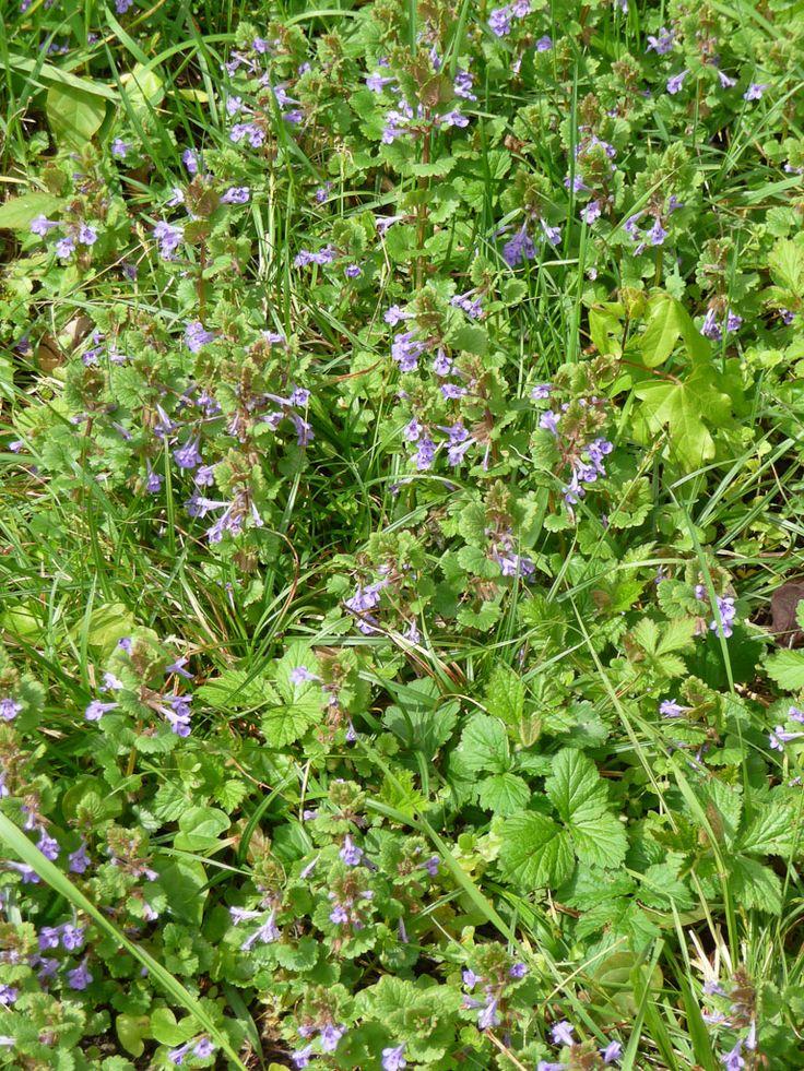 Jolie floraison du lierre terrestre (Glechoma hederacea)  http://www.pariscotejardin.fr/2012/04/jolie-floraison-du-lierre-terrestre-glechoma-hederacea/