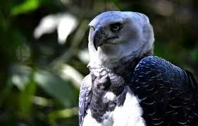 harpy eagle and sloth relationship trust