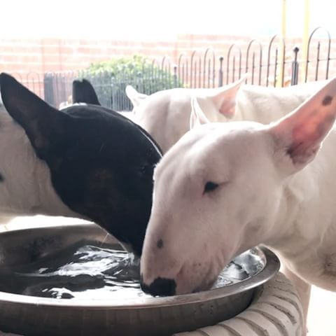 Bull Terriers Drinking Water