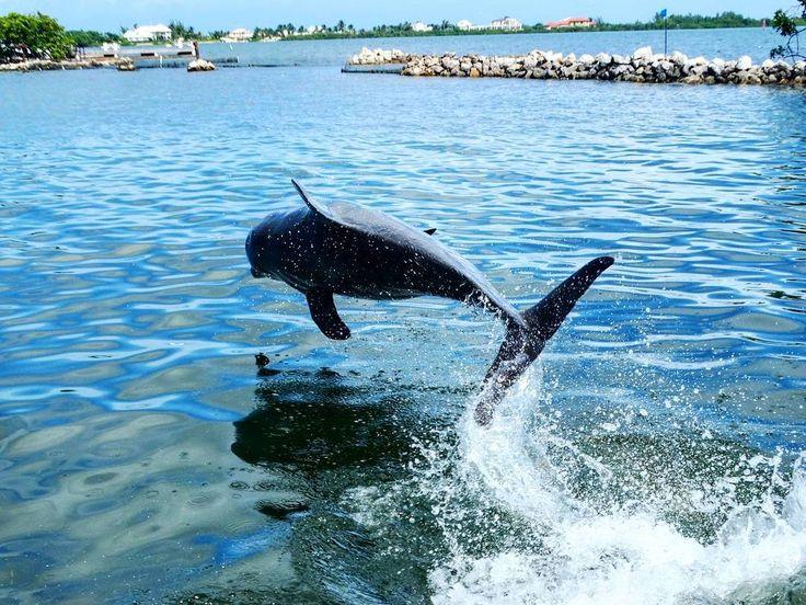 Golfinhos  - Georgetown  . A Dolphin Cove propicia um passeio para nadar com golfinhos e arraias. Os animais são mantidos no ambiente deles! Sem aquários. É muitooo gostoso  . Eles são tão sensíveis que não se recomenda o passeio para grávidas eles entendem que há um bebe e tendem a poteger ou querer levar a grávida pro alto mar e cuidar dela.Mais uma experiência incrível possível no Cruzeiro pelo Caribe. Esse é um dos motivos! Outros 10 você lê no blog link na bio) #aosviajantes #cruzeiro…