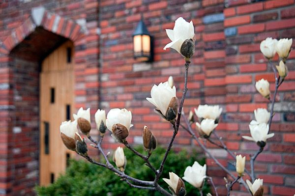 Magnolia buds near the Chapel of Memories - Mississippi State University