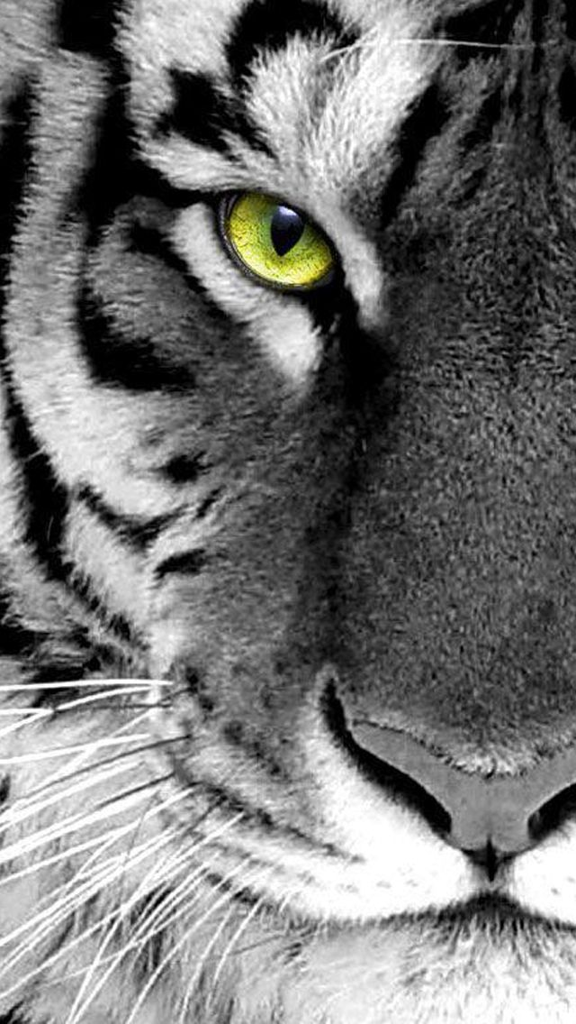 black n white photo tiger face close up iPhone 5 Wallpapers