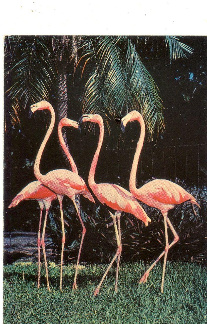 vintage motel postcards | Vintage Florida Postcard - Miami - Pink Flamingos at Parrot Jungle