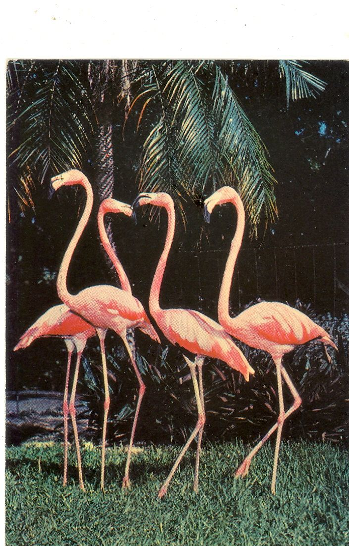Postal Antigua de flamencos - vintage motel postcards | Vintage Florida Postcard - Miami - Pink Flamingos at Parrot Jungle