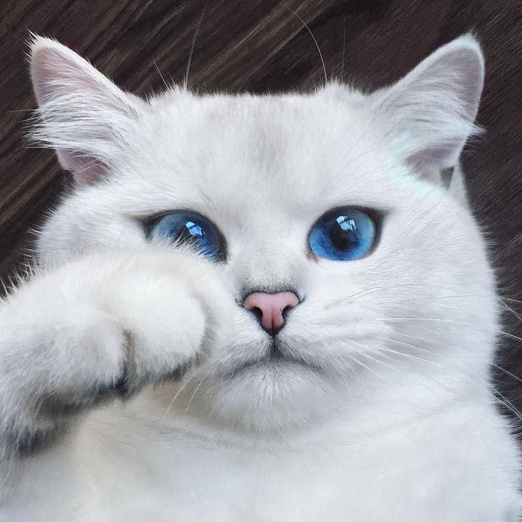 Кошки голубыми глазами картинки