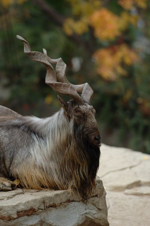 Markhor, a large species of wild goat, found in Afghanistan and Pakistan; classified as endagered species by IUCN, only 2,500 mature markhors known in existence.