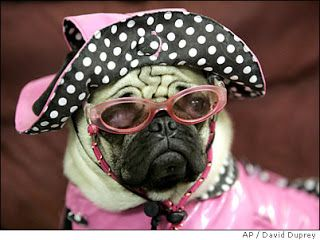 BooBoo Kitty Couture: Pugs Dressed Up www.vip-eroticstore.com