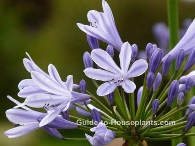 African Lily flower (also called Lily of the Nile) has tall flower stems with clusters of blue flowers all summer. Find out how to grow African lilies, with tips for watering, sunlight, fertilizing.