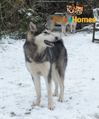 Anglo Wulfdog (Authentic Wolf Lookalike) puppies | Boston, Lincolnshire | Pets4Homes