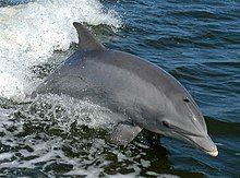 Common bottlenose dolphin - Wikipedia