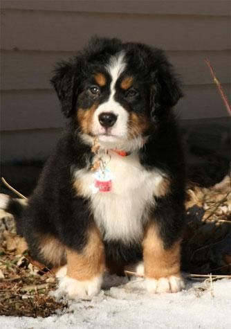 """This came from a piece entitled """"Cutest Dog Breeds: From Puppy to Adult""""...who could disagree?: Cutest Puppy, Face, Bernese Mountain Dogs, Animals, Cutest Dogs, Pets, Puppys, Things, Cutest Dog Breeds"""