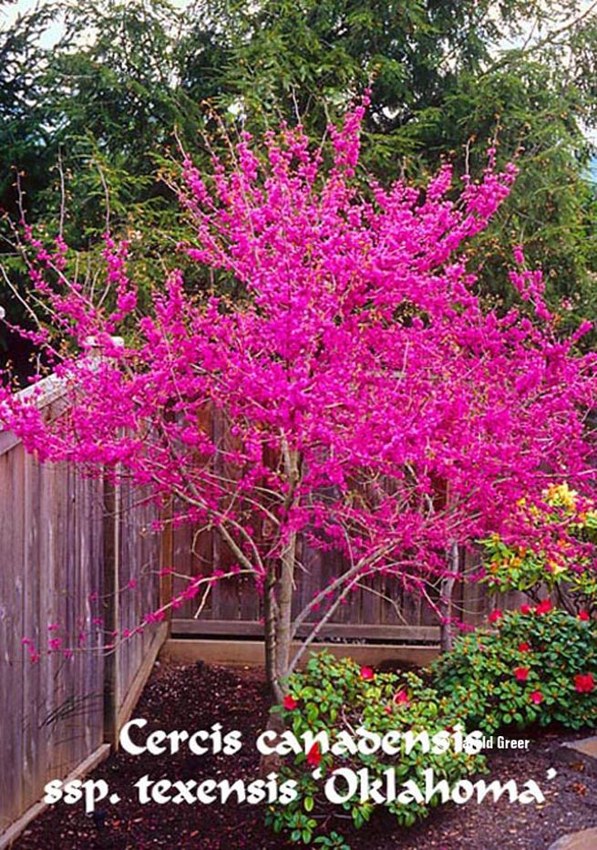 cercis can ssp tex