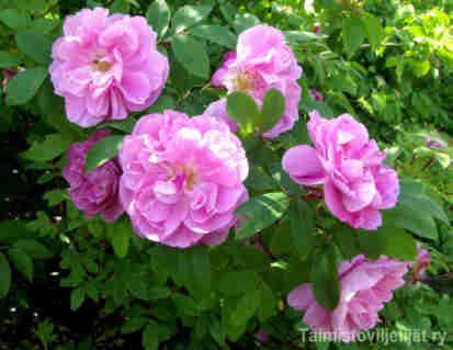 Therese Bugnet   Teresan ruusu