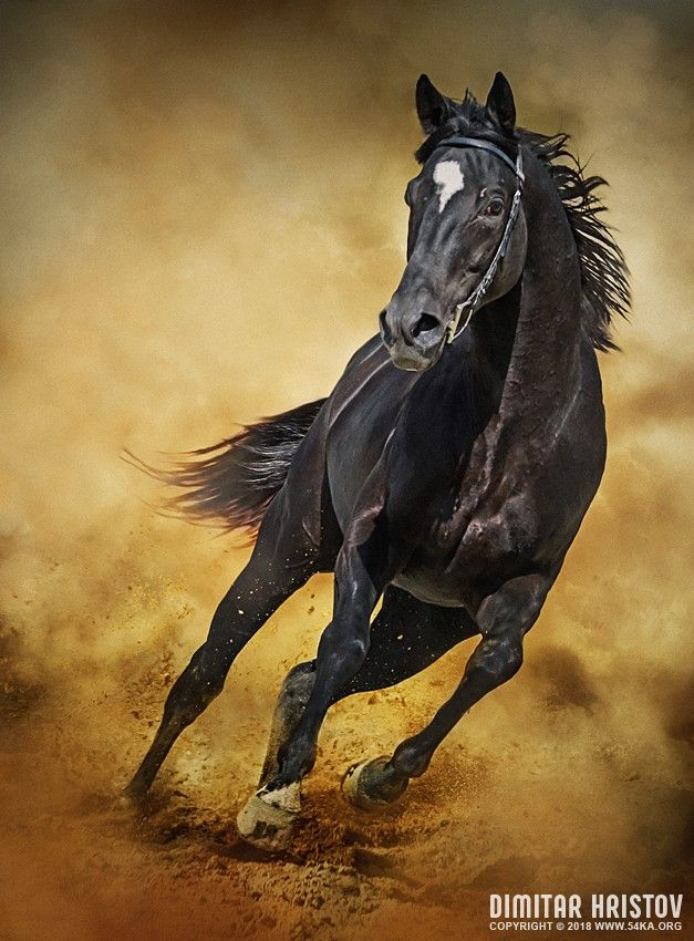 deea864ee20 Black Horse – Running Wild photography photomanipulation featured equine  photography animals Photo