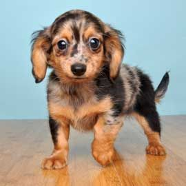"Chiweenie - Love em.  But... Not a breed, just a ""mutt"" and one of the dogs frequently found in puppy mills. Say NO to so-called designer dogs."