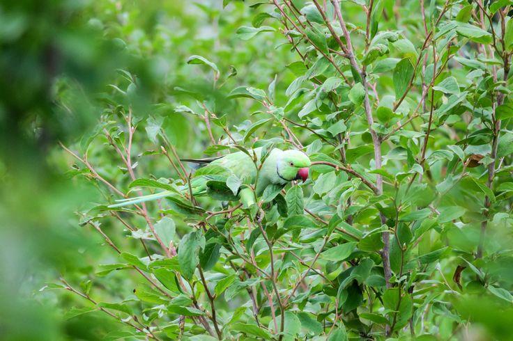 Indian Rose-necked Parakeet ワカケホンセイインコ