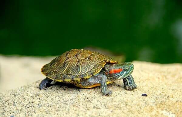 Tortuga I➨➨➨ Las tortugas a diferencia de muchos otros animales reptiles…