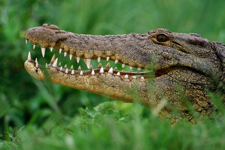 """Despite their reputation as being """"unchanged"""", today's crocodiles are drastically different from their forebears."""