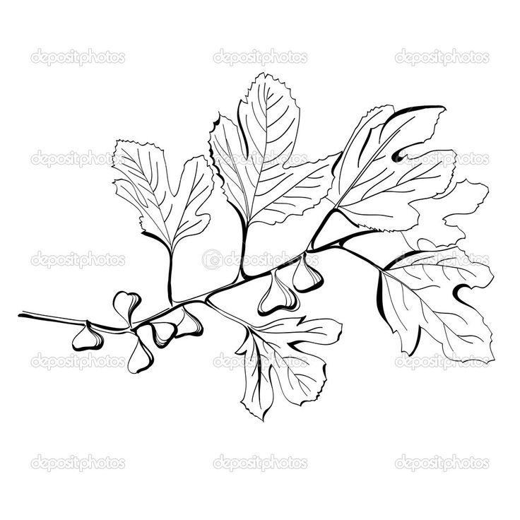 Stylized black and white drawing of a branch of fig tree - Dessin figuier ...