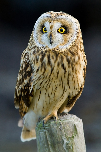Short-eared Owl (Asio flammeus) found on all continents except Antarctica and Australia