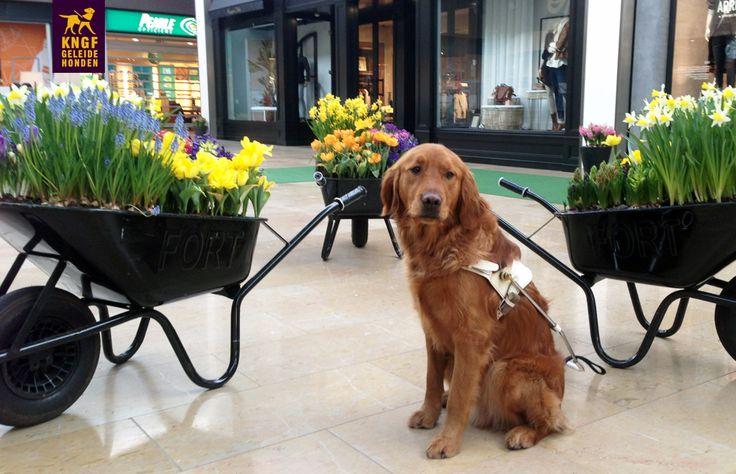 De lente komt eraan! Geleidehond in opleiding Gerben in winkelcentrum Amstelveen waar de bloemetjes net buiten worden gezet:-)