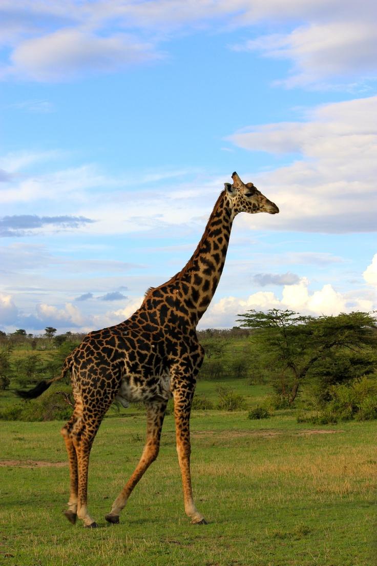 Giraffe M 1000+ images ab...