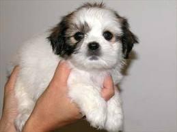 maltese shitzu puppies for sale perth Google Search