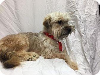 9/29/16 Oakland Park, FL - Havanese/Standard Schnauzer Mix. Meet Princess, a dog for adoption. http://www.adoptapet.com/pet/16715427-oakland-park-florida-havanese-mix