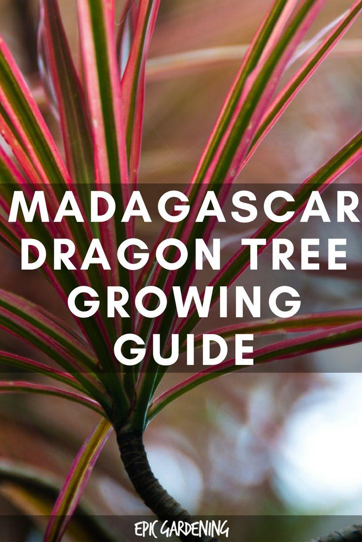 Dracaena Marginata / Madagascar Dragon Tree Care