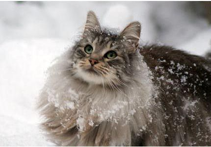 NORWAY: The Norwegian Forest cats are said to have accompanied the Vikings on their journeys...