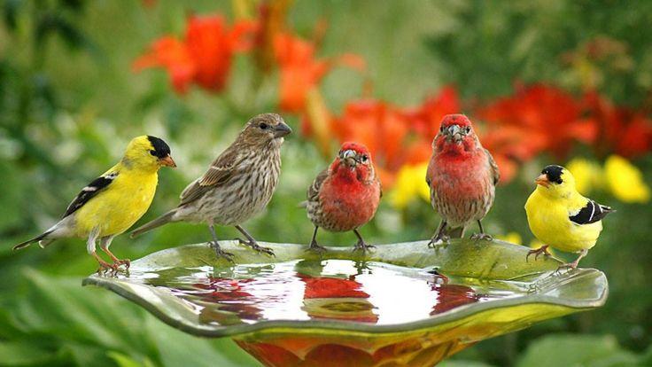 Madarak Háttérképek aranyos madarak ital Víz: Wallpapers13.com - Wallpaper Zone