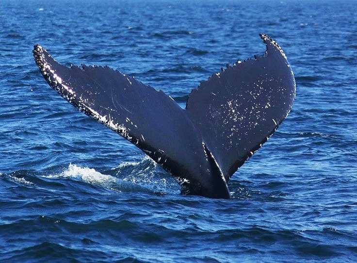 The tail fin of a whale can reveal a lot about the size of the animal. This #humpbackwhale was quite large.: Grey Whales,  Gray Whales,  Eschrichtius Robustus,  Eschrichtius Gibbosus, Tail Fin,  Devilfish