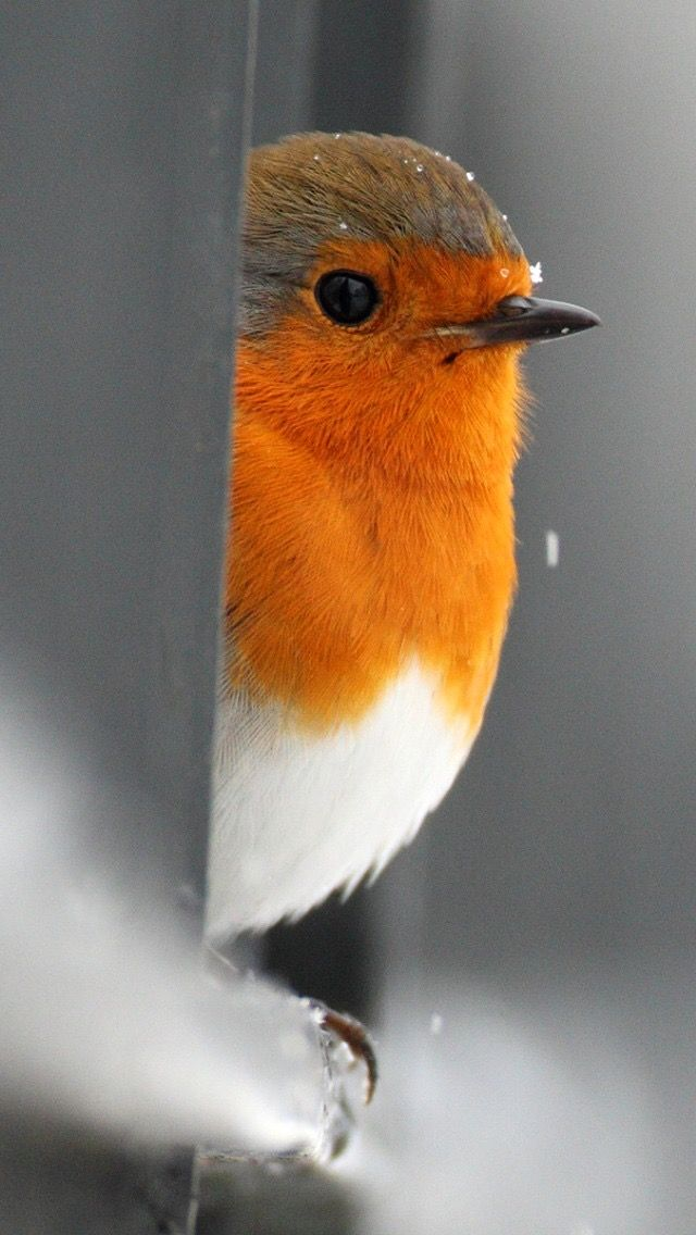 Robin....I l o v e this photo, the beauty of the bird with this close up shot