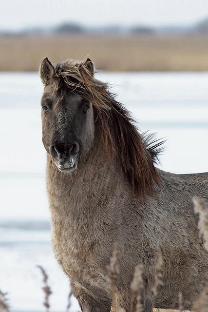 Konik horse in wintertime - Oostvaardersplassen. by dirkjankraan.com on Flickr.