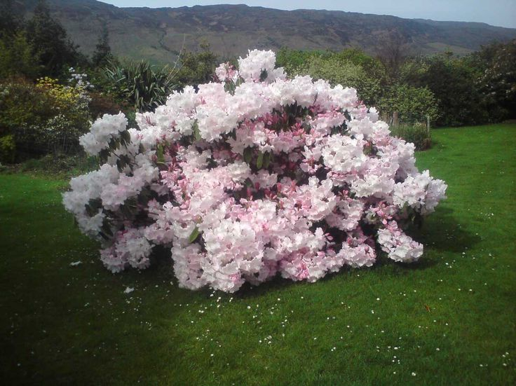 Rhododendron Loderi King George Large And Shade