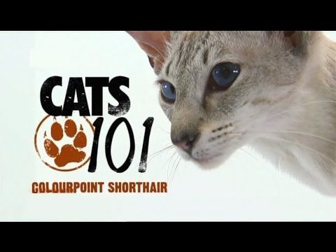 CATS 101 - Colourpoint Shorthair [ENG] - YouTube