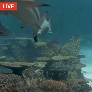 Take a swim with our LIVE REEF SHARK CAM!
