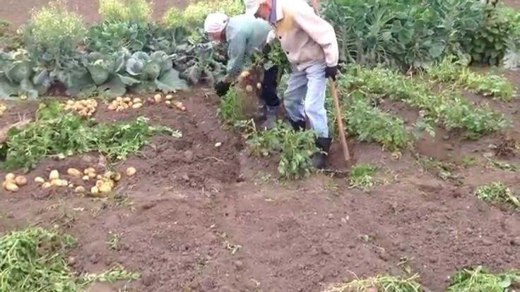 Посадка картофеля. Беcпахотный метод.