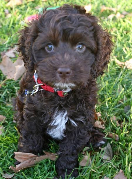 Best 25 Brown Cockapoo Ideas On Pinterest  Cockerpoo -9401