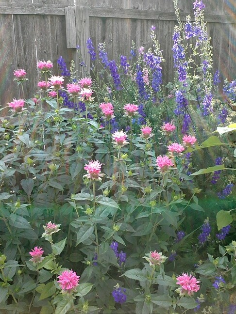 Bee balm and larkspur
