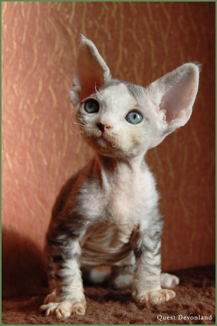 Питомник девон рексов DEVONLAND: Резервирование котят девон рекс
