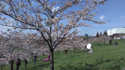 Sakura in Vilnius