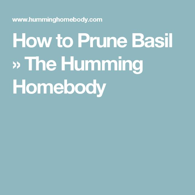 How to Prune Basil » The Humming Homebody